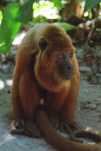 bolivian red howler wikipedia