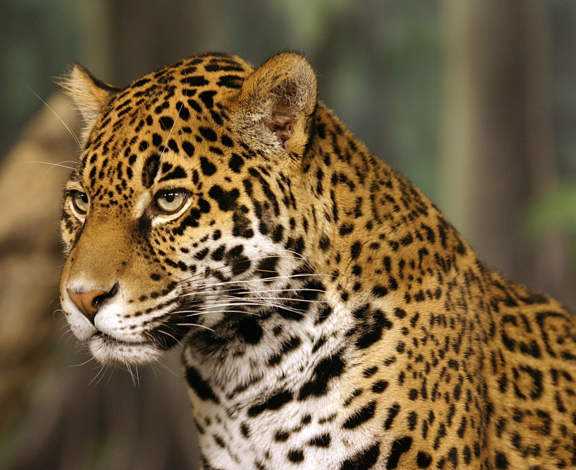 big cat conservation south america