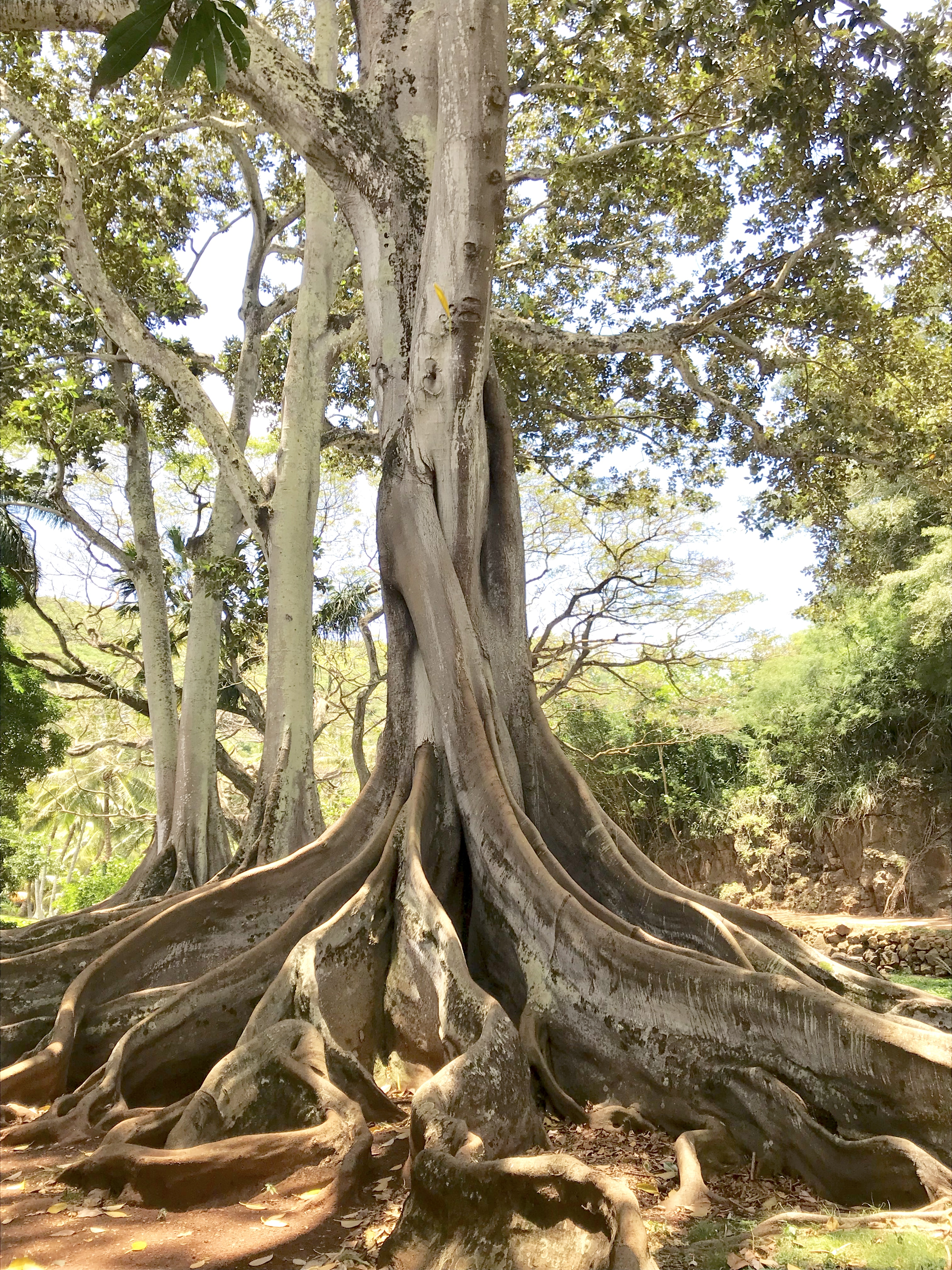 File:Jurassic Park Trees Of Allerton Gardens, National Tropical Botanical  Gardens, Kauai,
