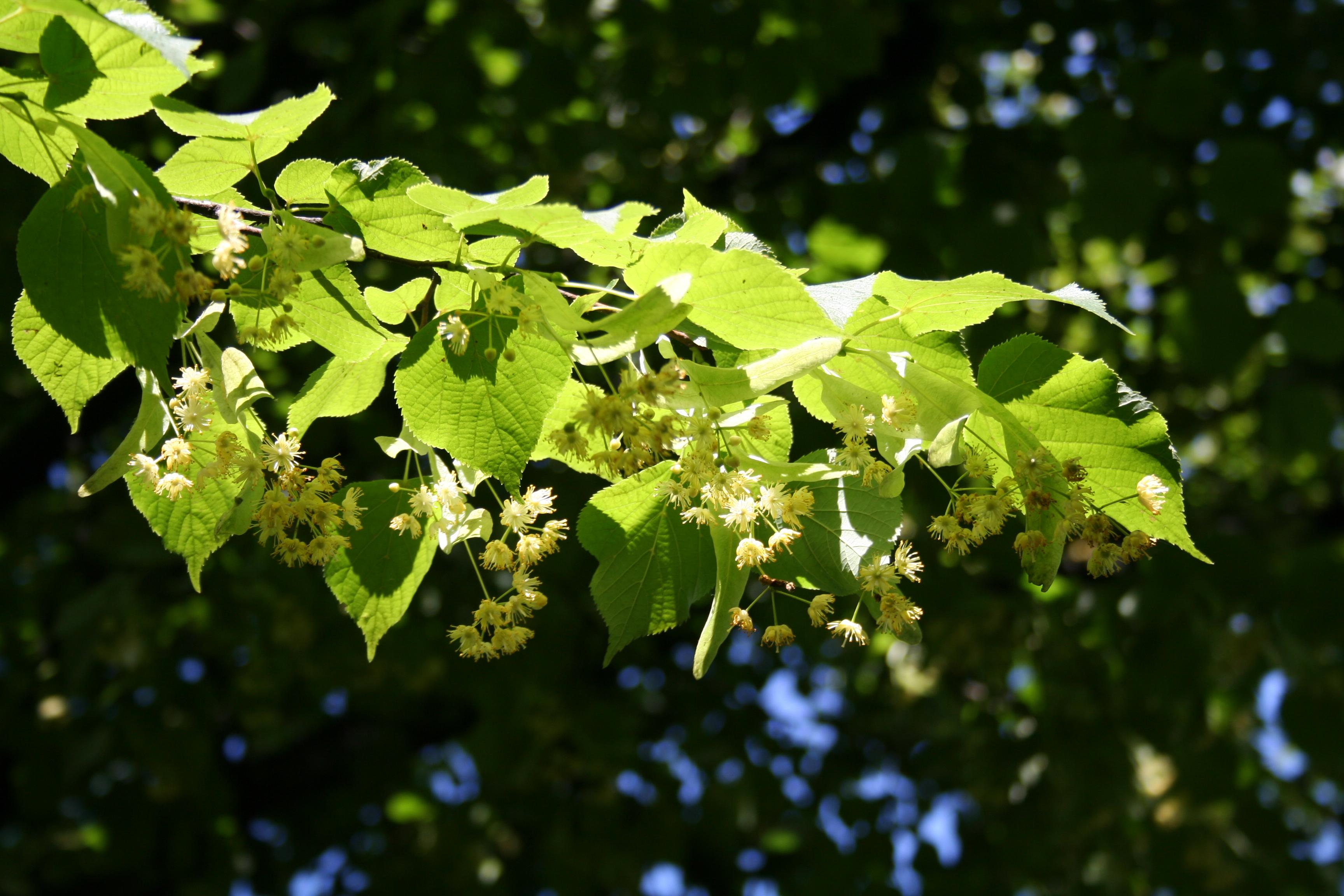 Greenspire Linden (Tilia cordata \'Greenspire\') - Revolutionary Gardens