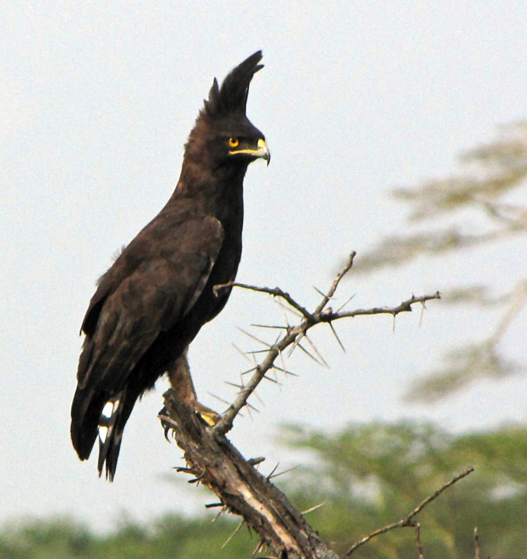 Long-crested Eagle, Karkloof | BirdLife Port Natal