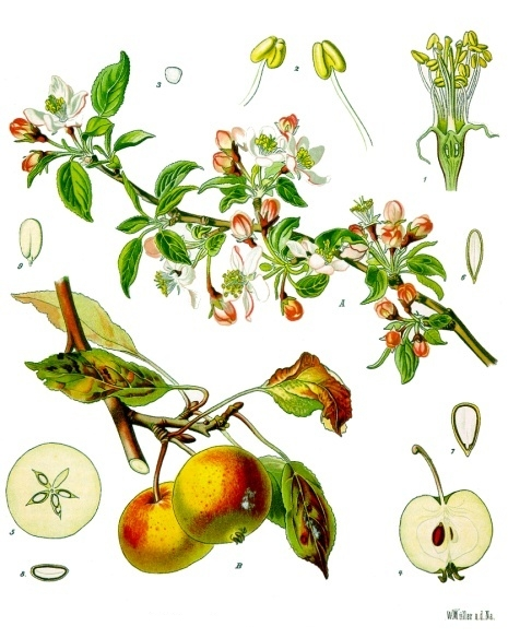Blossoms, fruits, and leaves of the apple tree