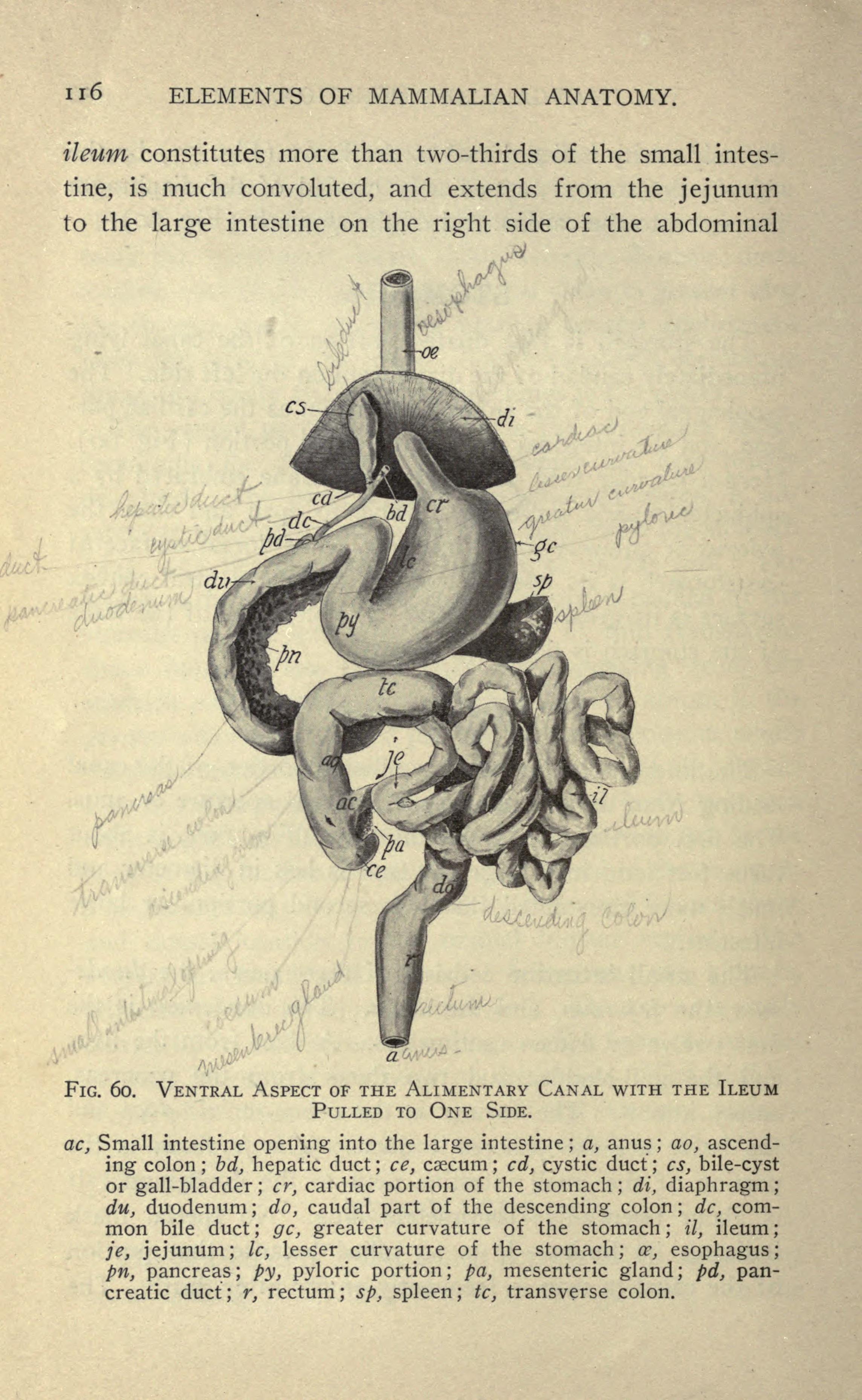 File:Mammalian anatomy (Page 116) BHL18735559.jpg - Wikimedia Commons