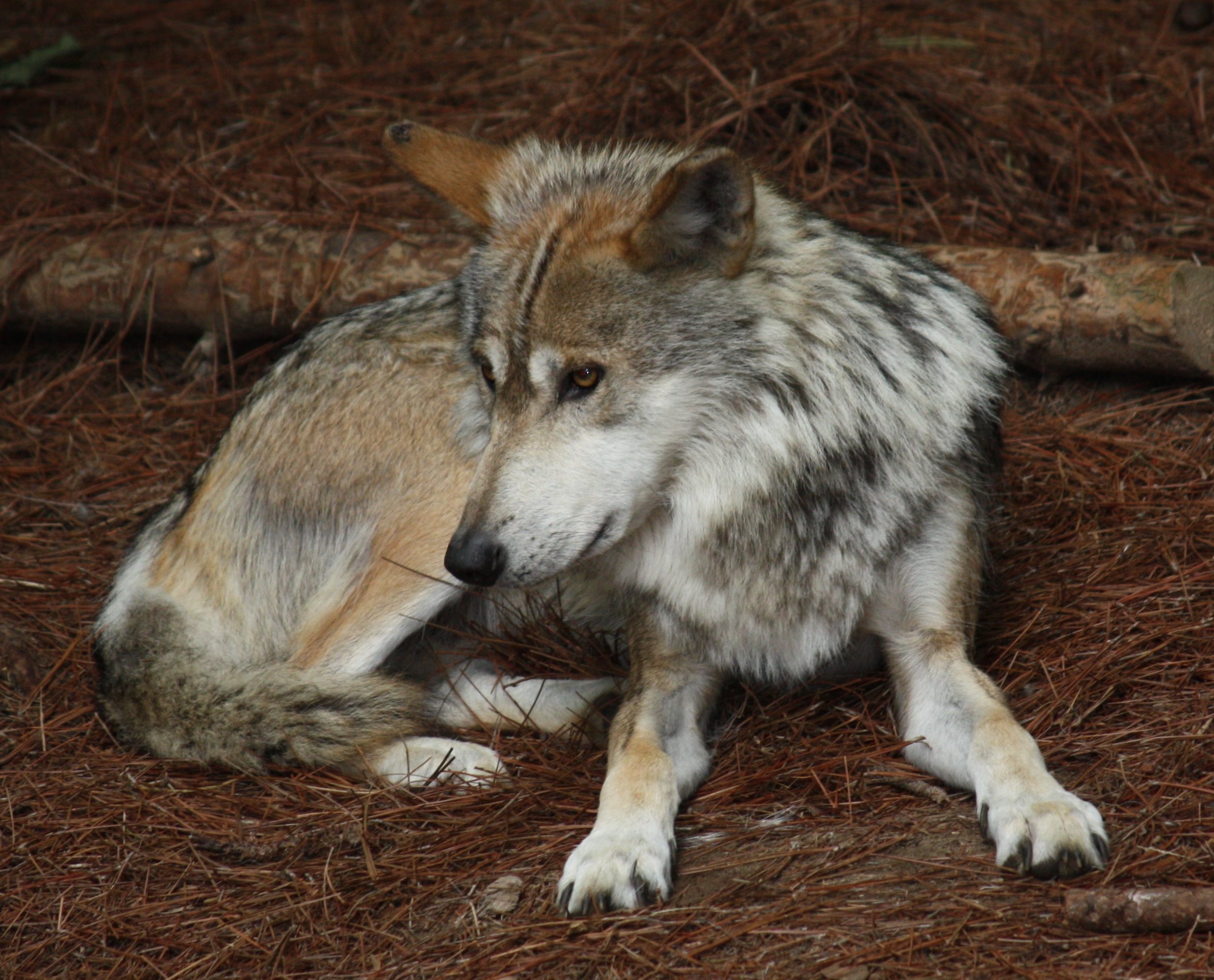 File Mexican Wolf 001 Jpg Wikimedia Commons