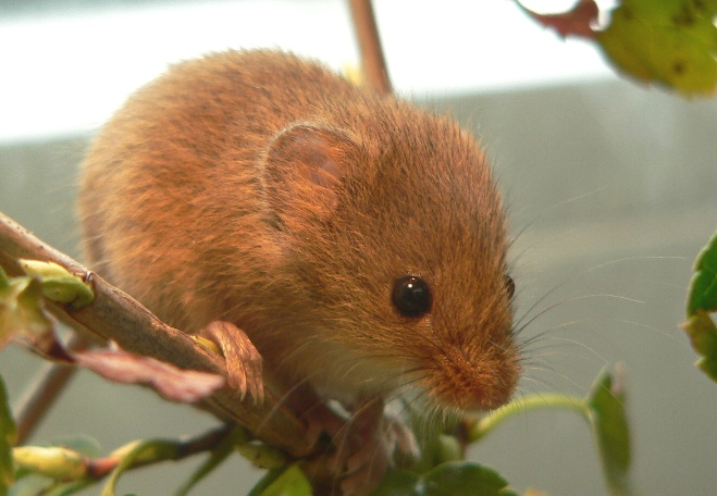 British Mice Identification Guide - Micromys Minutus or the harvest mouse