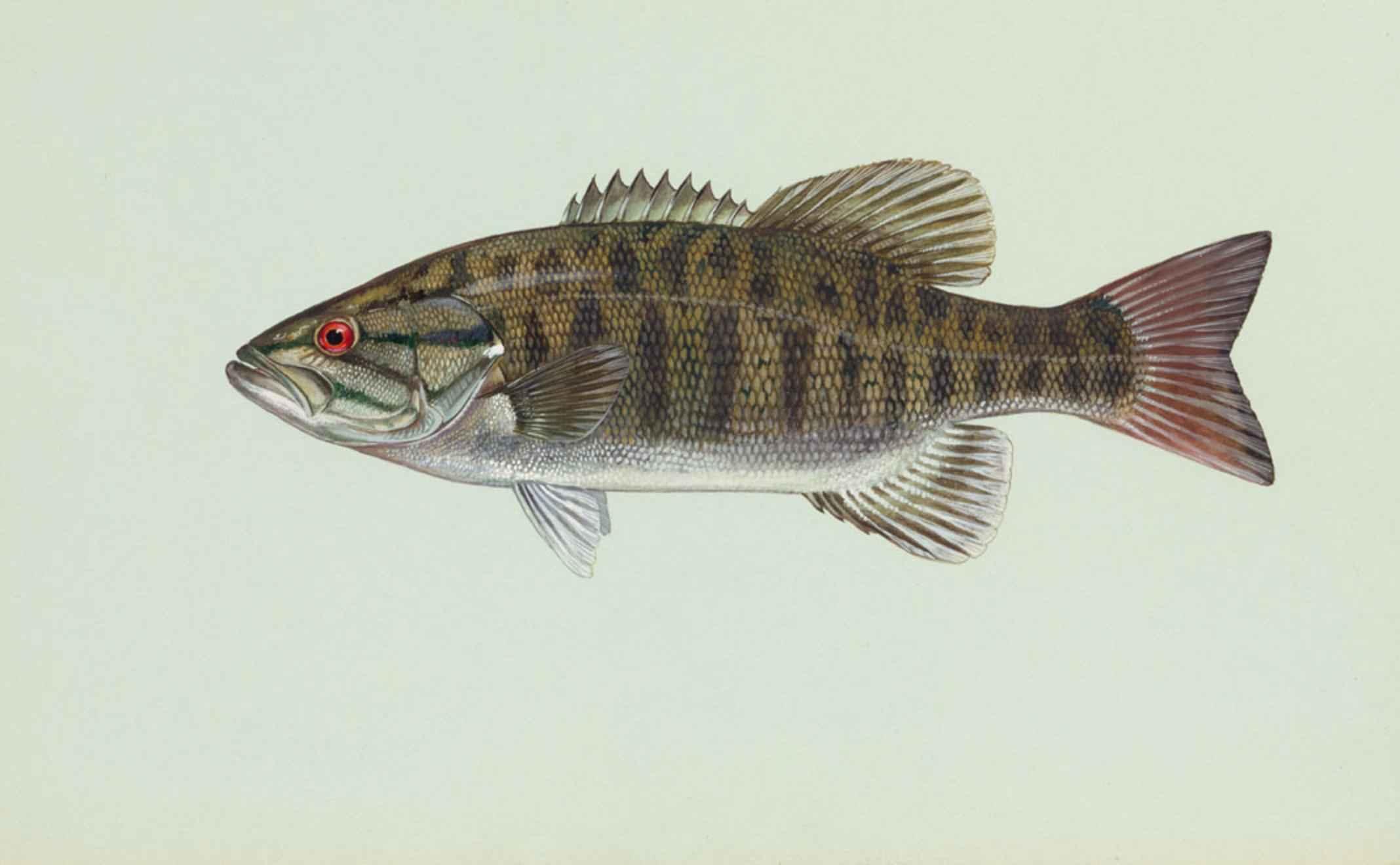 filemicropterus dolomieu smallmouth bass fishjpg