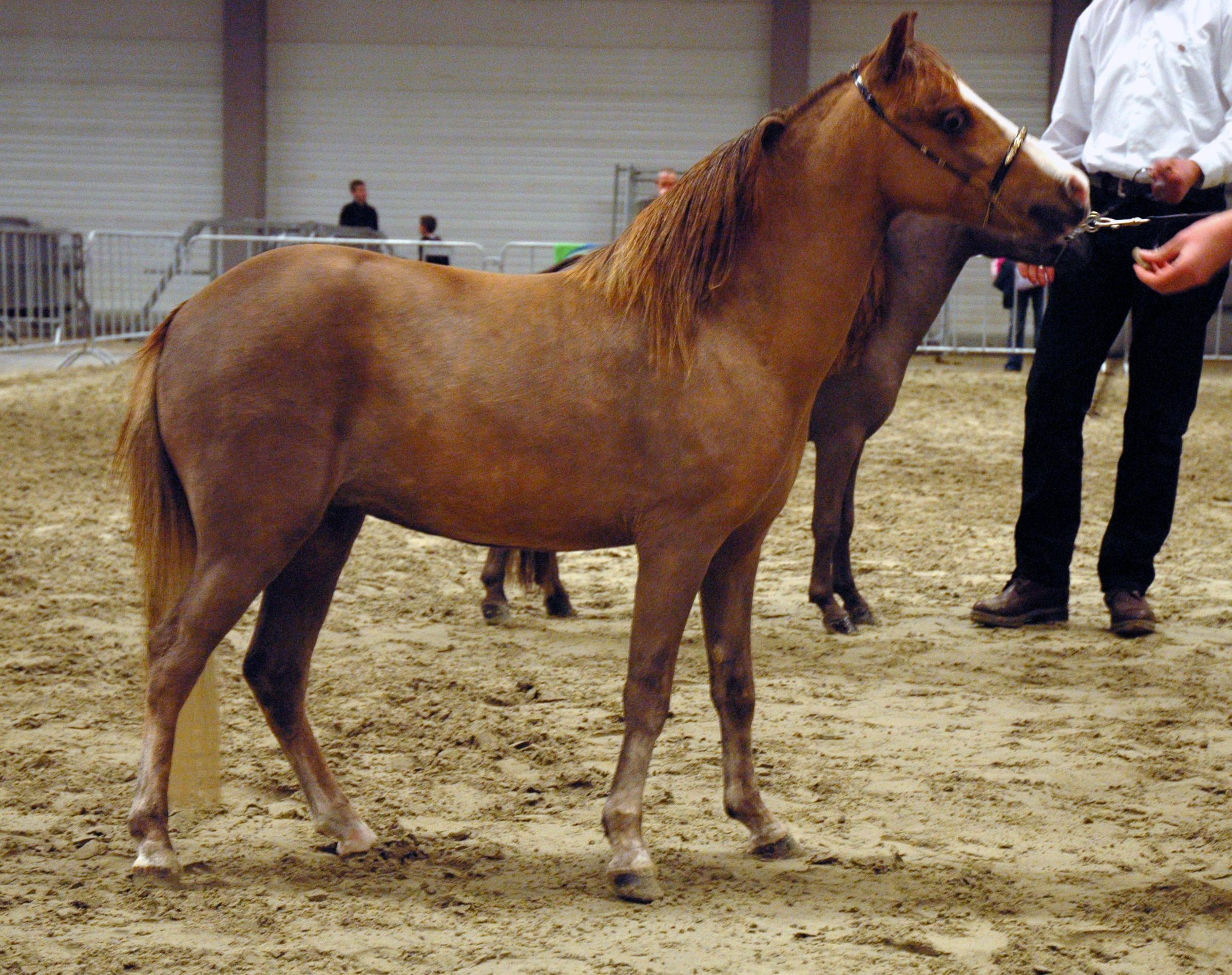 File:Miniature Horse Sideview Shot.jpg