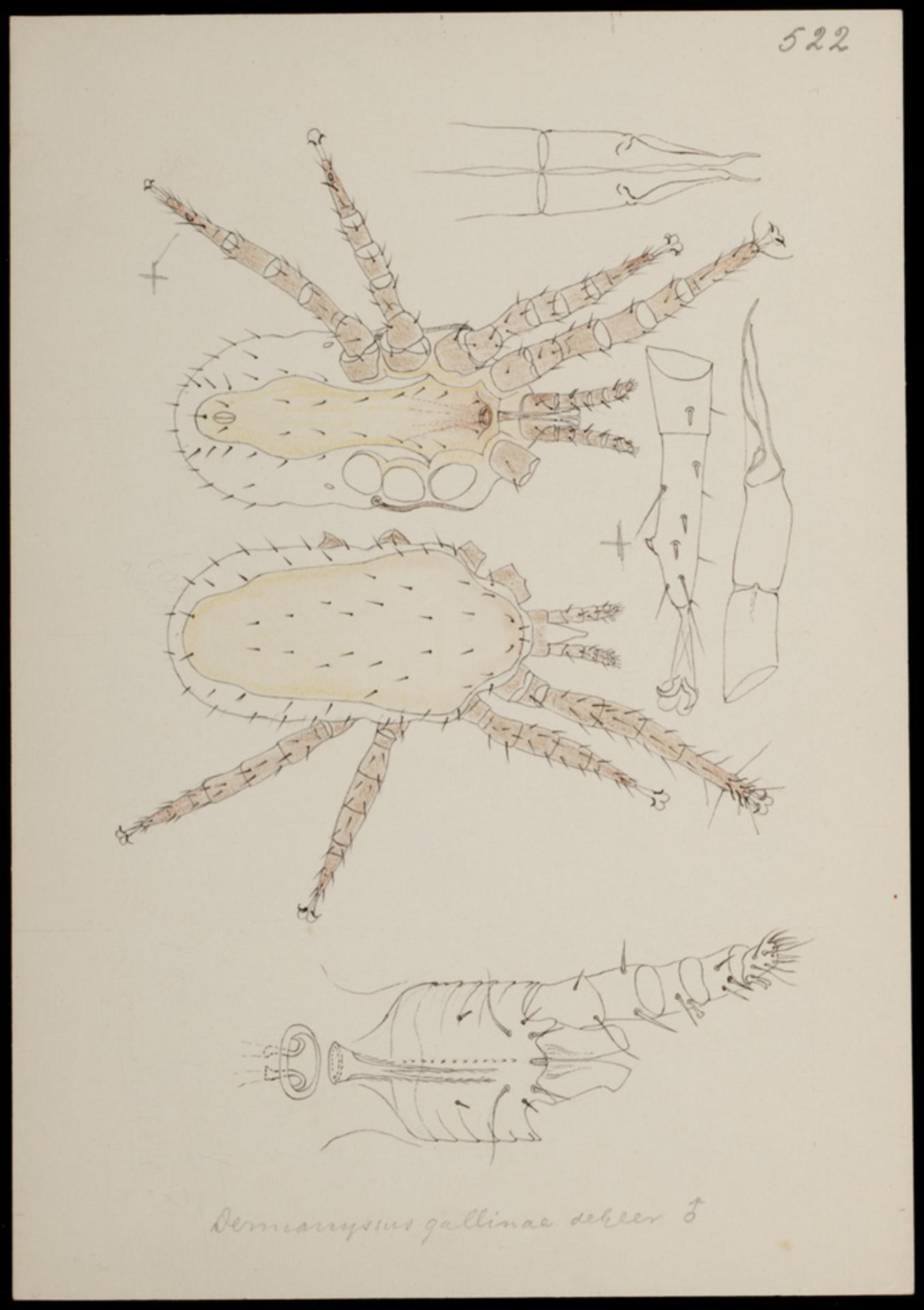 Dermanyssus gallinae - Wikipedia