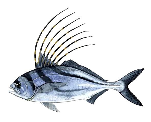Nematistius pectoralis wikipedia for Un pesce allevato in acque stagnanti