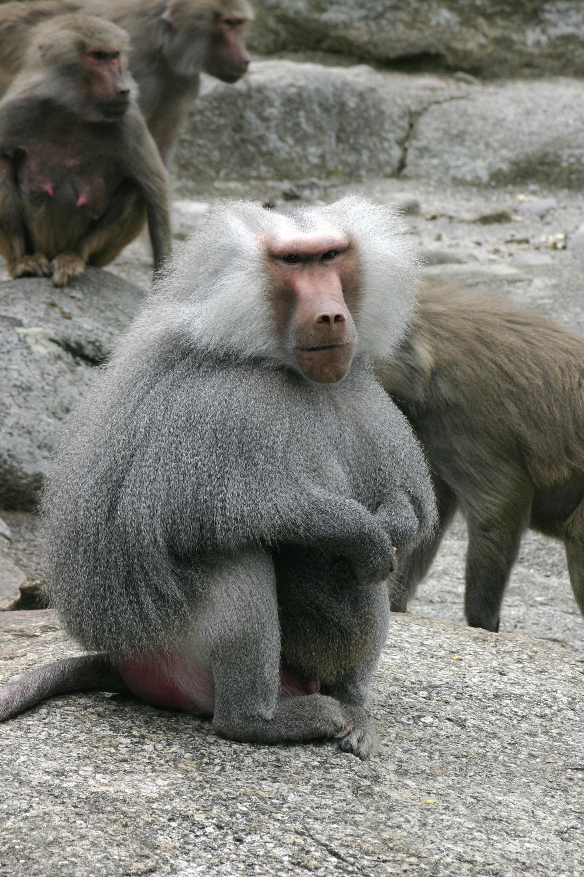 обезьяна рода павианов