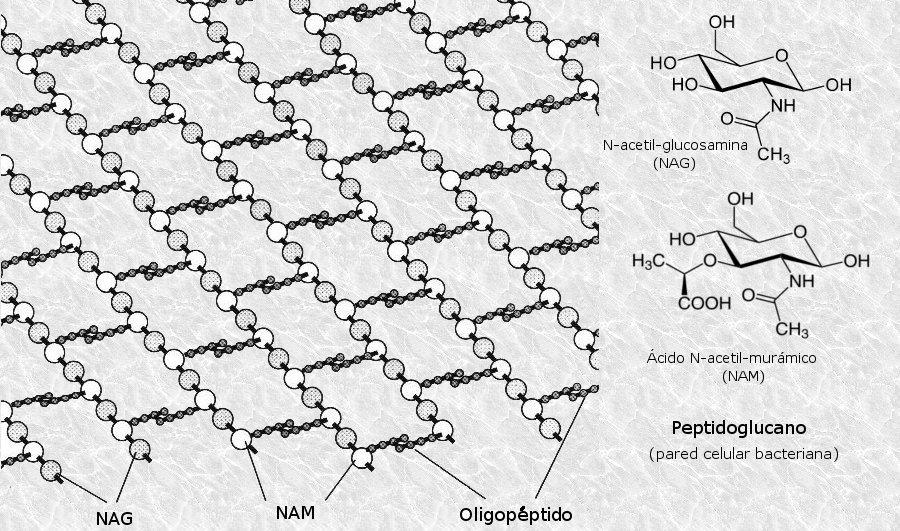 mecanismo de accion de las hormonas esteroideas pdf