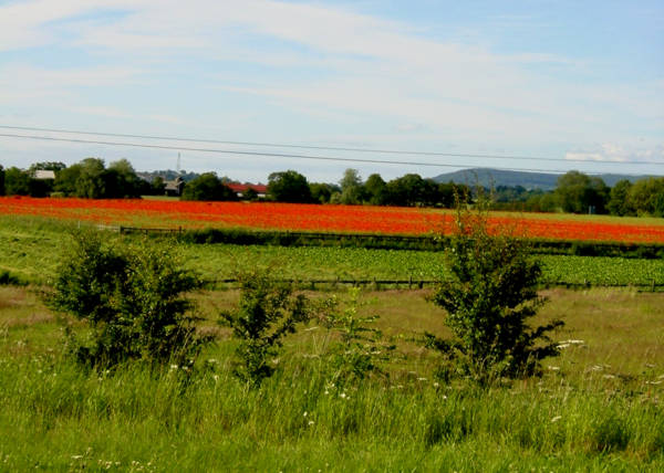 Poppies at Kilvington - geograph.org.uk - 54144