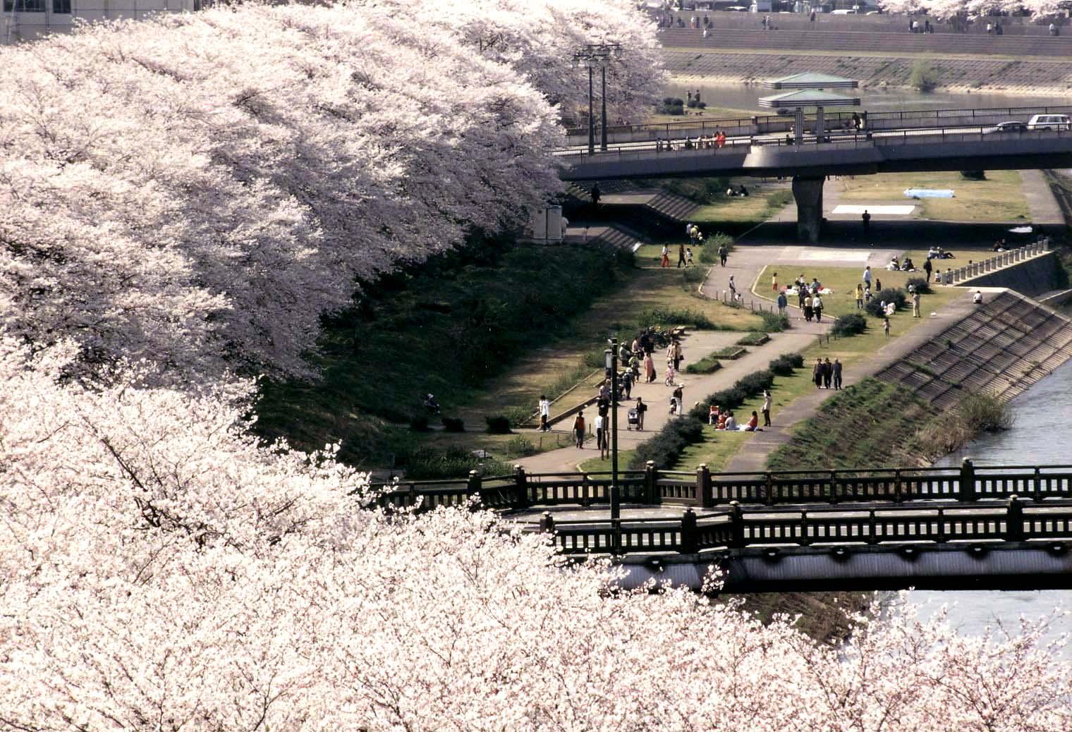 Kinh nghiệm du lịch Nhật Bản tự túc | Ngắm hoa anh đào