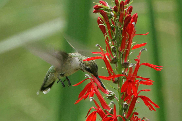 Ruby-throated hummingbird on cardinal flower (5871175853)