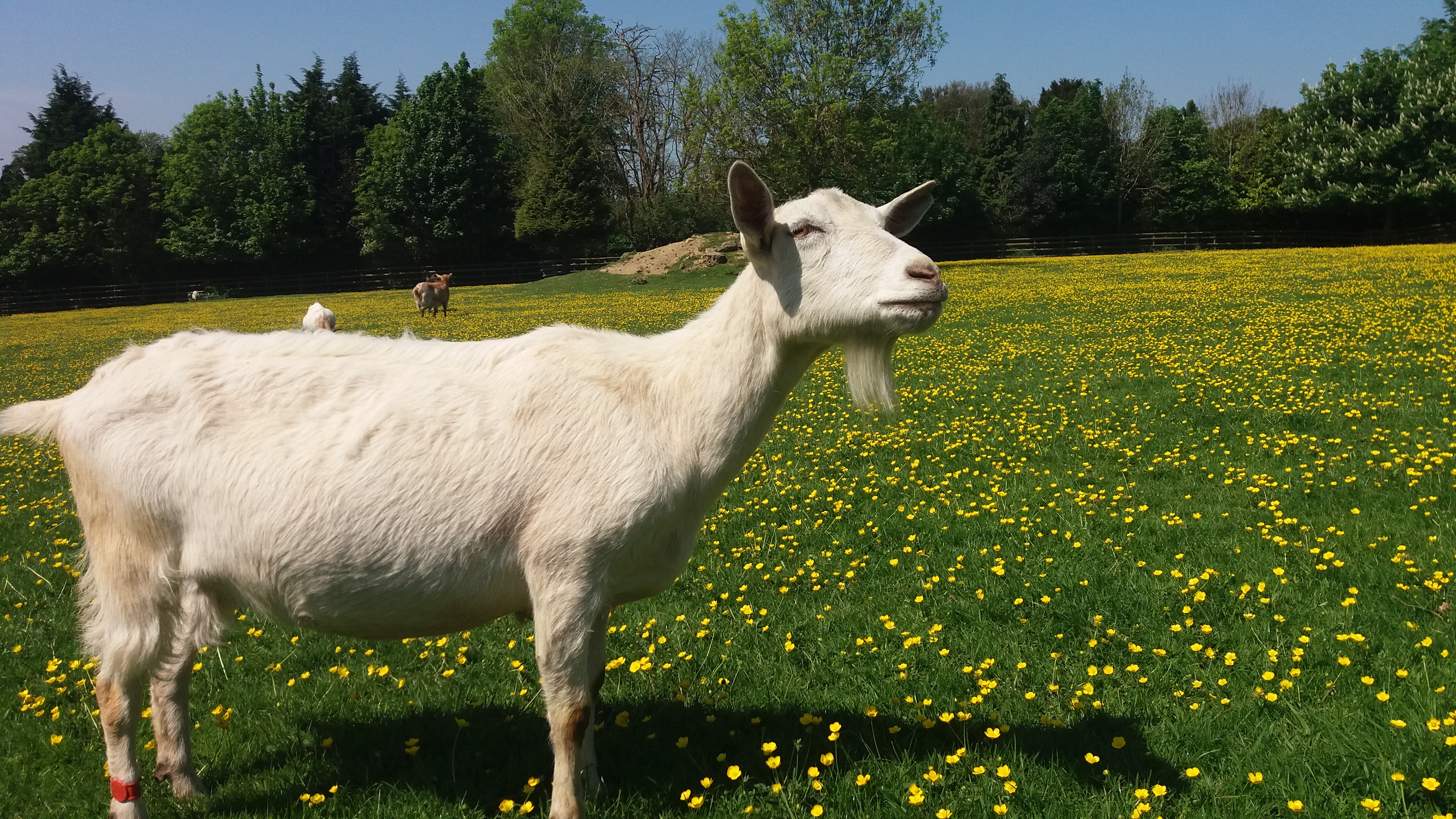 Saanen goats: photos, description and characteristics of the breed 73