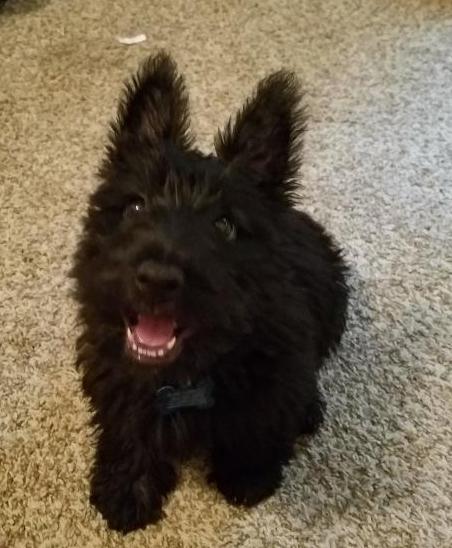 file scottie puppy jpg wikimedia commons