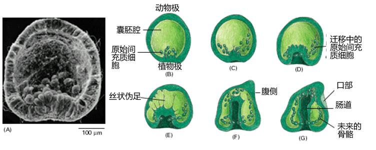 File:Sea Urchin Gastrulation.png - Wikimedia Commons