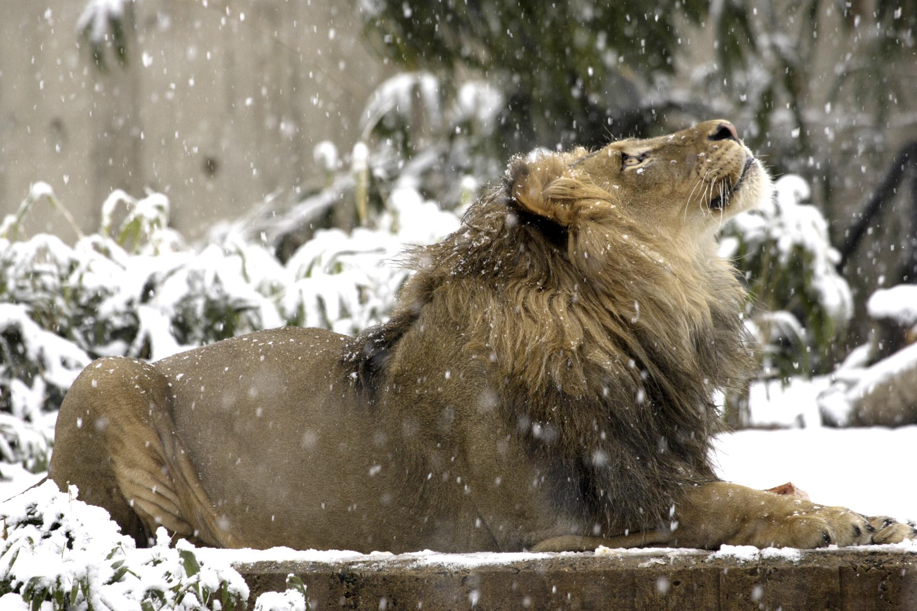 雪の中、空を見上げるライオン