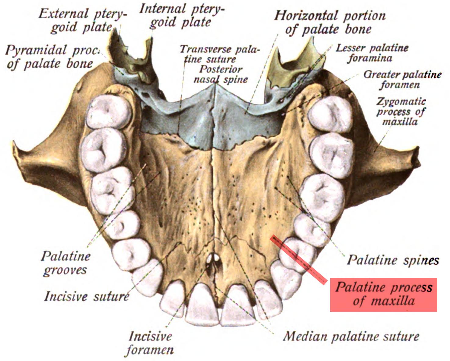 Palatine process of maxilla - Wikiwand