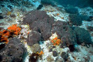 <i>Spongia officinalis</i> species of sponge