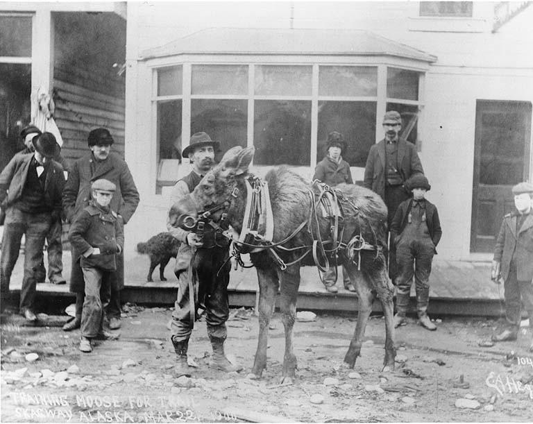 Street_scene_showing_man_standing_with_moose_in_harness%2C_Skagway%2C_Alaska_March_22%2C_1900_%28HEGG_335%29 file street scene showing man standing with moose in harness