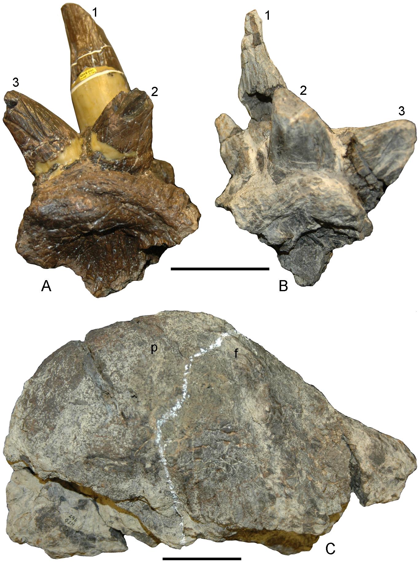 File:Stygimoloch skull.png - Wikimedia Commons