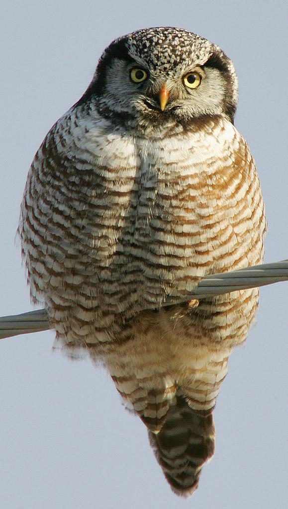 Northern hawk-owl - Wikipedia