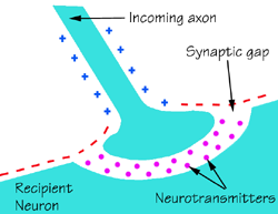 English: synapse diagram: cells communicate by...