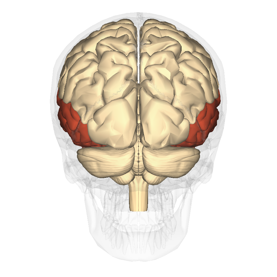 temporal lobes Learn about temporal lobe epilepsy from patients' first hand experiences and trusted online health resources, including common treatments and medications 8,597 discussions on treato.