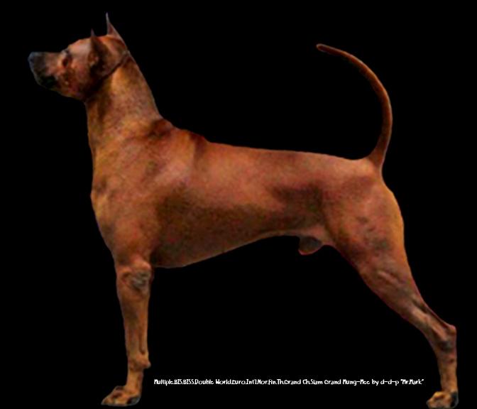 filethai ridgeback dog ��������������������������� 04jpg wikimedia