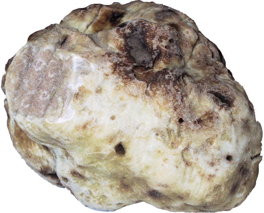 Echte Trüffeln – Wikipedia