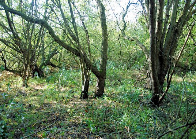 Wet Woodland, Winnall Moors - geograph.org.uk - 1020896