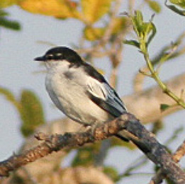 White-shouldered Triller (cropped).jpg