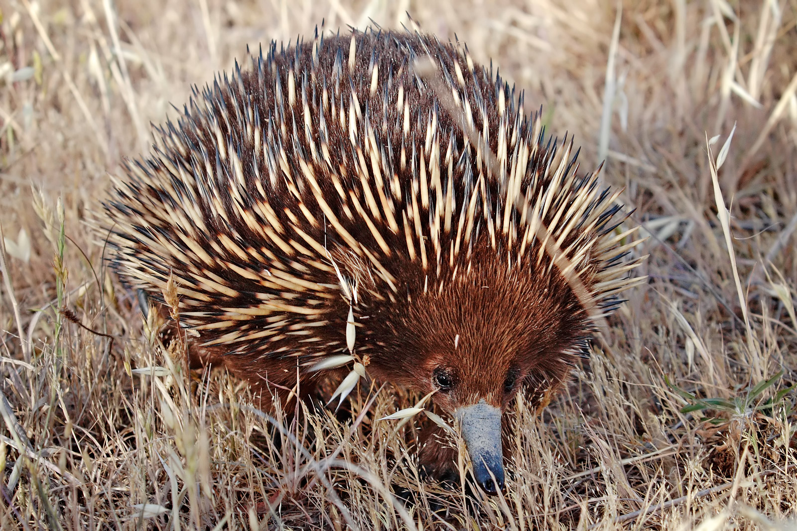 https://upload.wikimedia.org/wikipedia/commons/c/c9/Wild_shortbeak_echidna.jpg