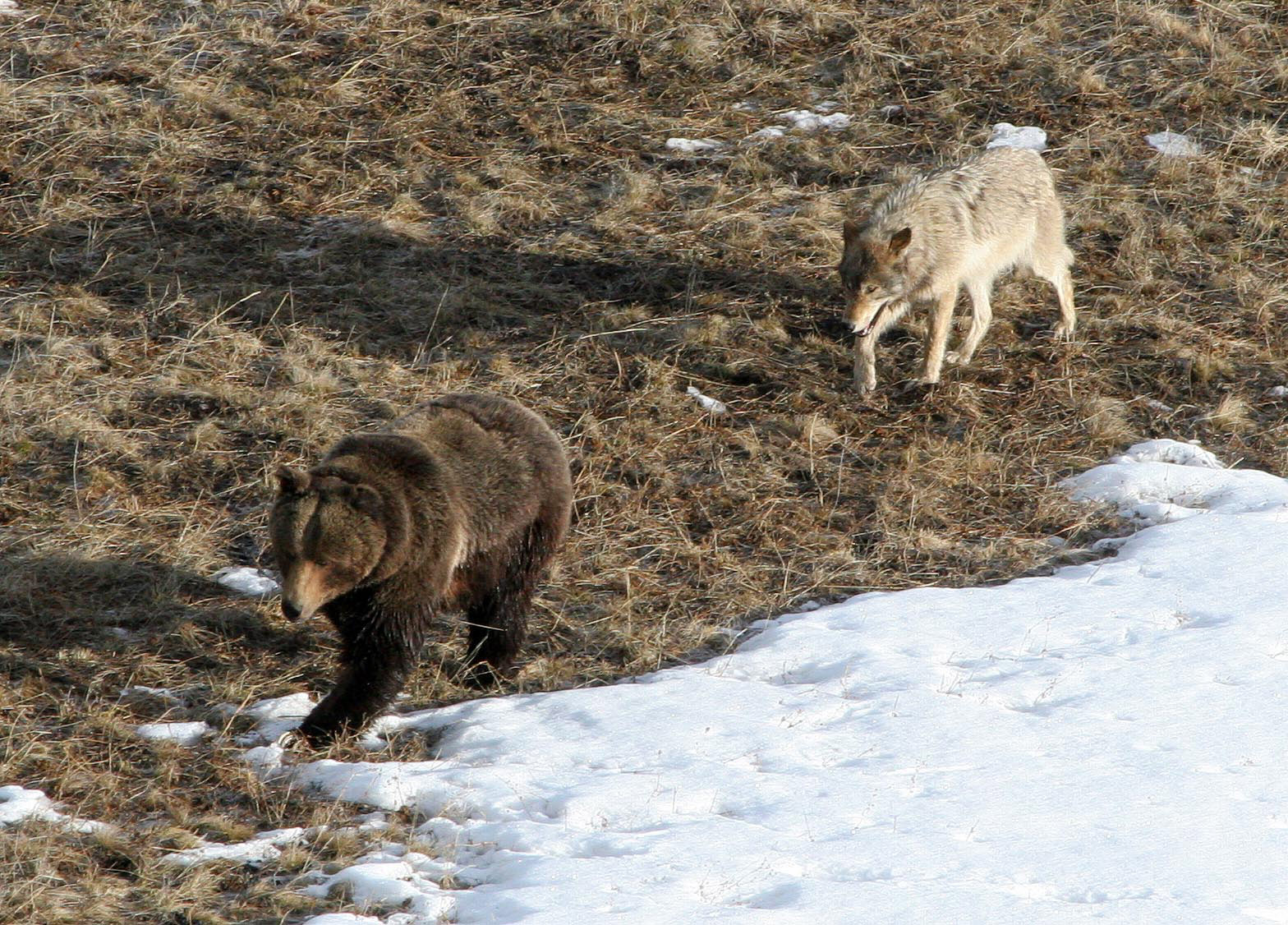Siberian Tiger Vs Bear Brown bear being followed by a