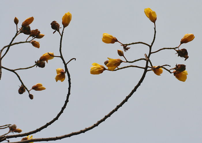 File:Yellow Silk Cotton (Cochlospermum religiosum) flowers in Kolkata W IMG 4243.jpg