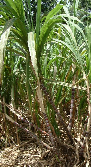 saccharum officinarum  sugarcane
