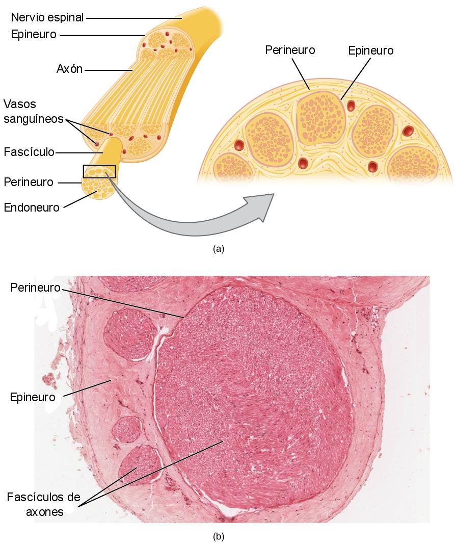 Anatomía ciático de definición nervio