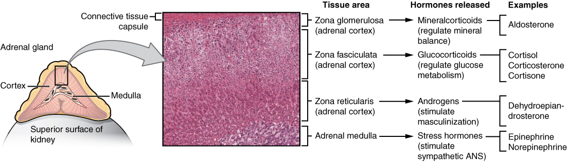 Image result for Layers of adrenal gland