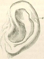 Sketch of a human ear. Image Source: Wikipedia