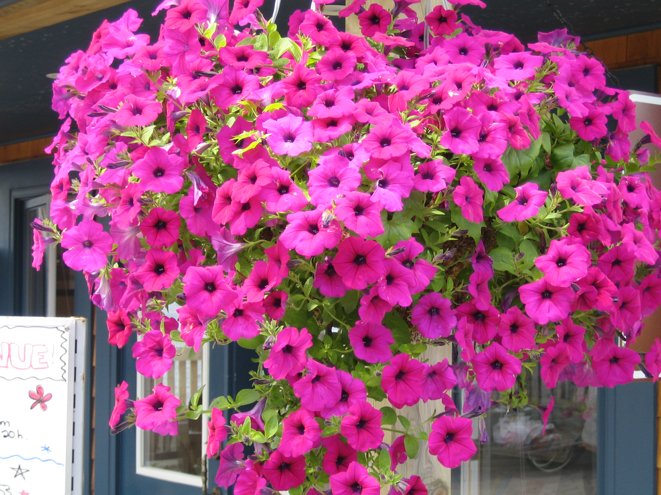 Image result for petunias