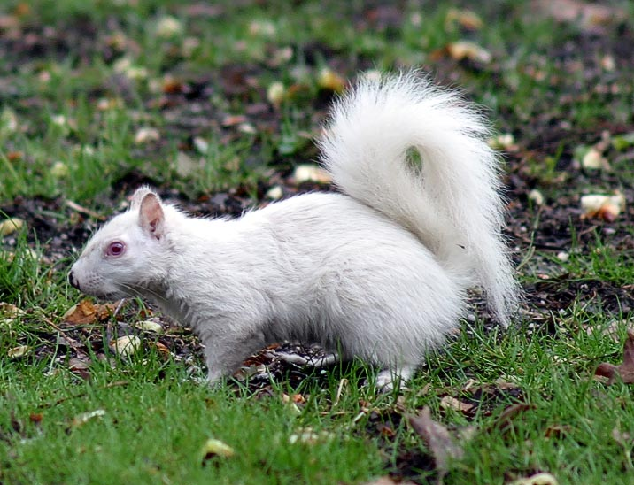 File:AlbinoGraySquirrel.jpg