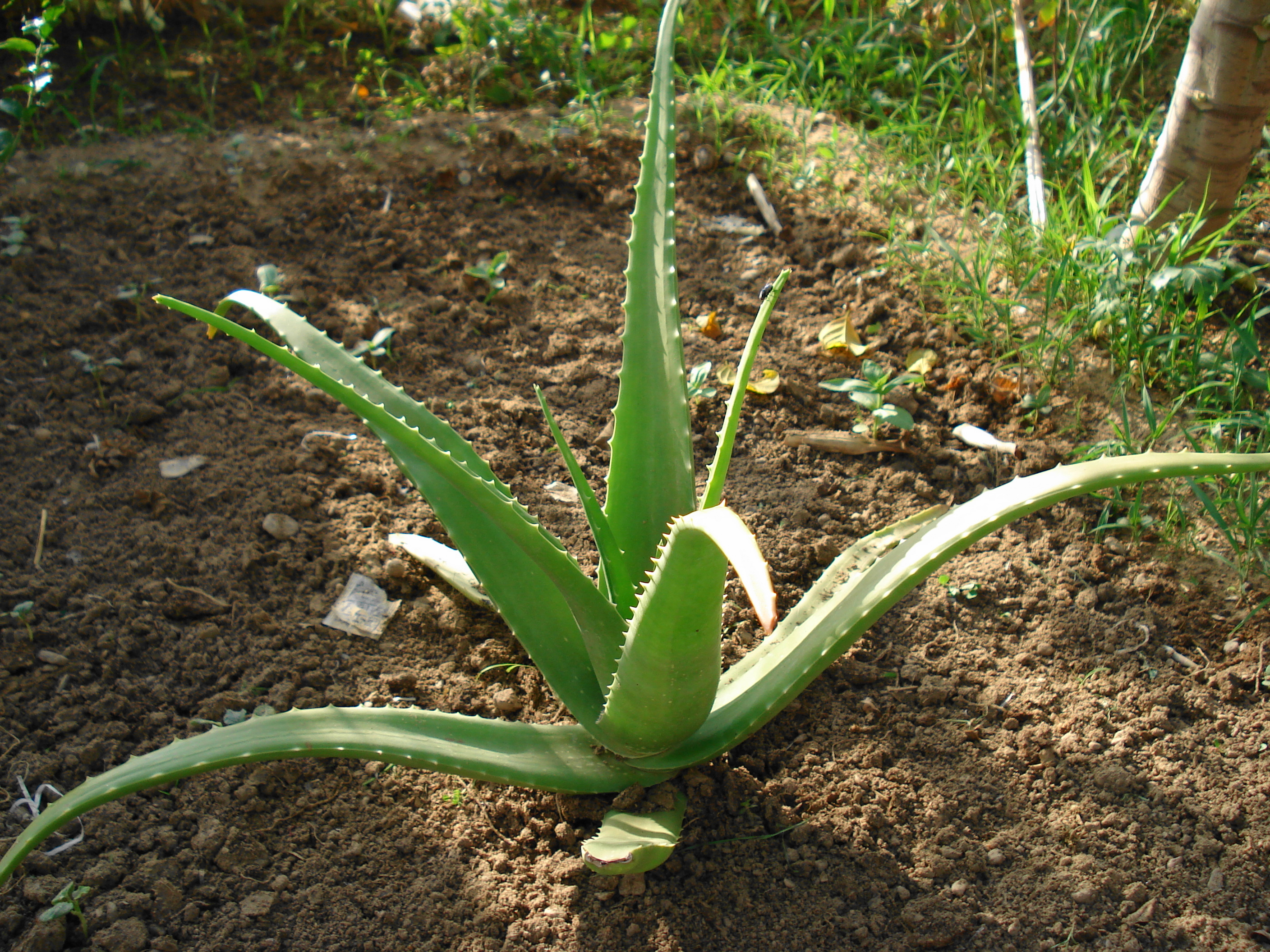 Description Aloe vera plant.JPG