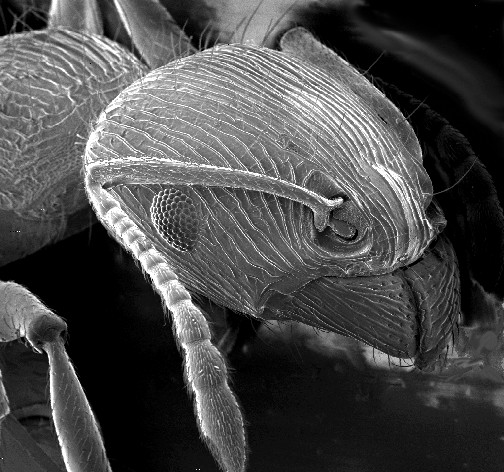 SEM-foto van een mierenkop.