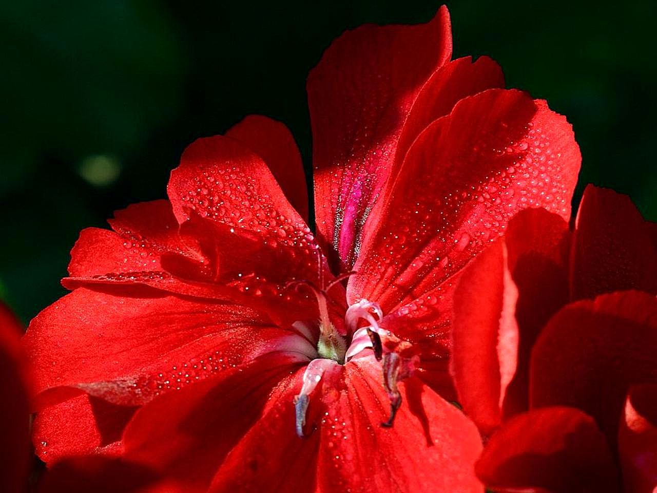 File Beautiful red flower in Balboa park Wikimedia mons