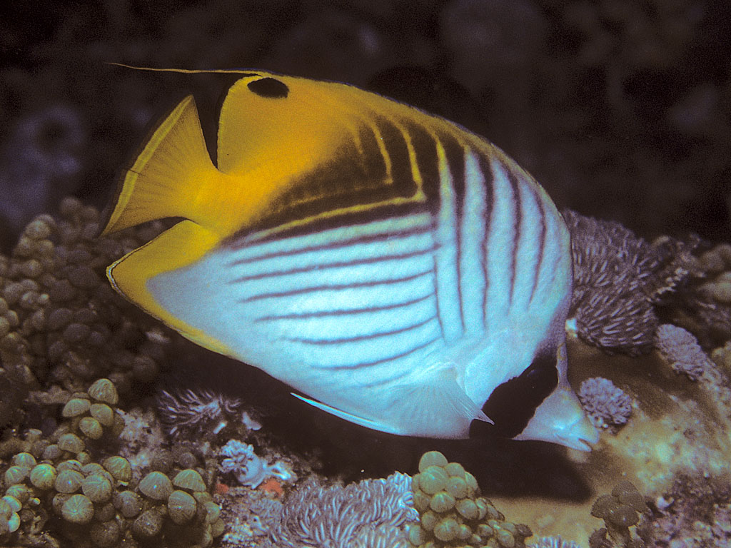 Threadfin butterflyfish wikipedia for Saltwater reef fish