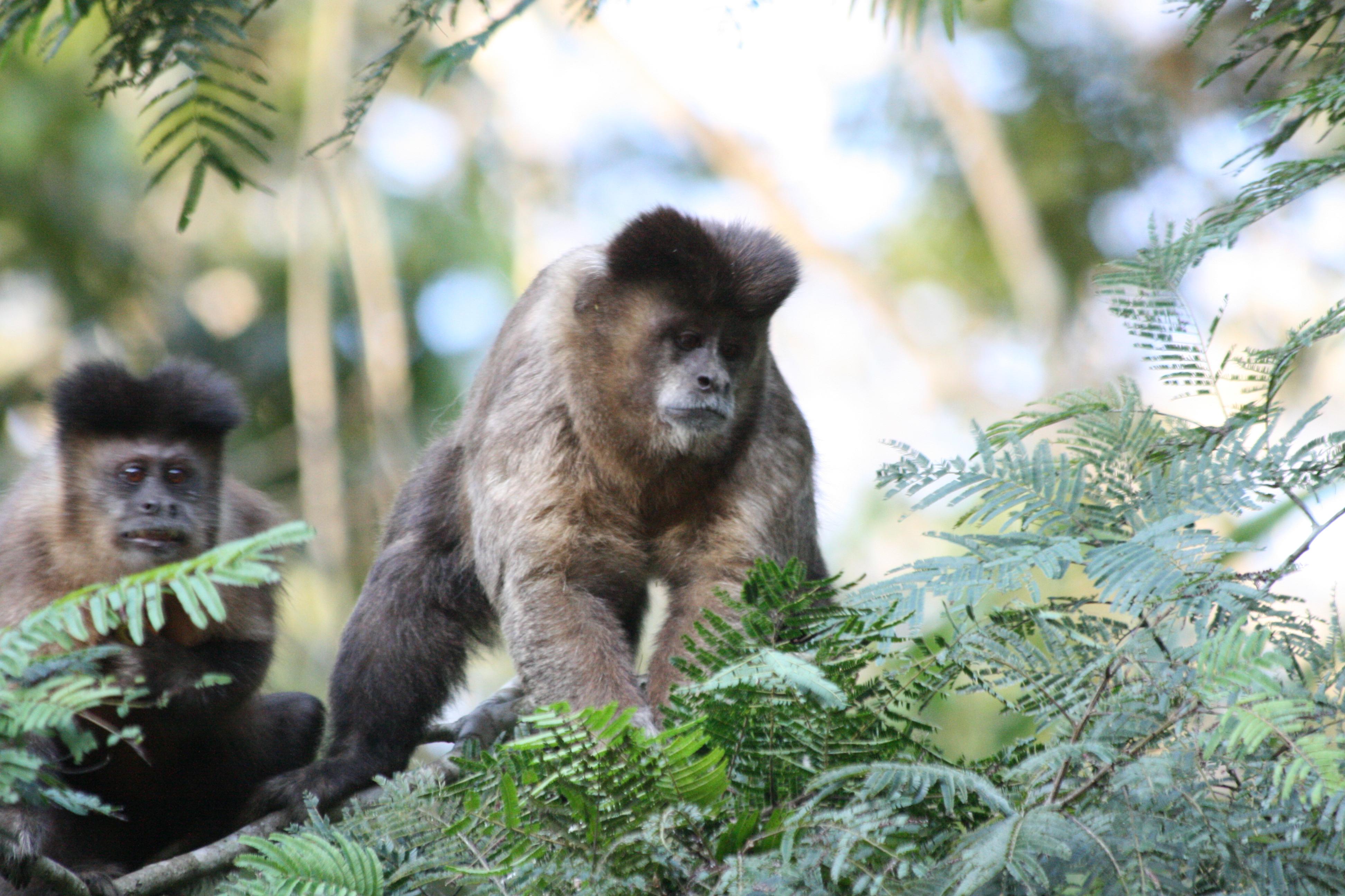 File:Black tufted capuchin (S. nigritus).jpg - Wikimedia ...