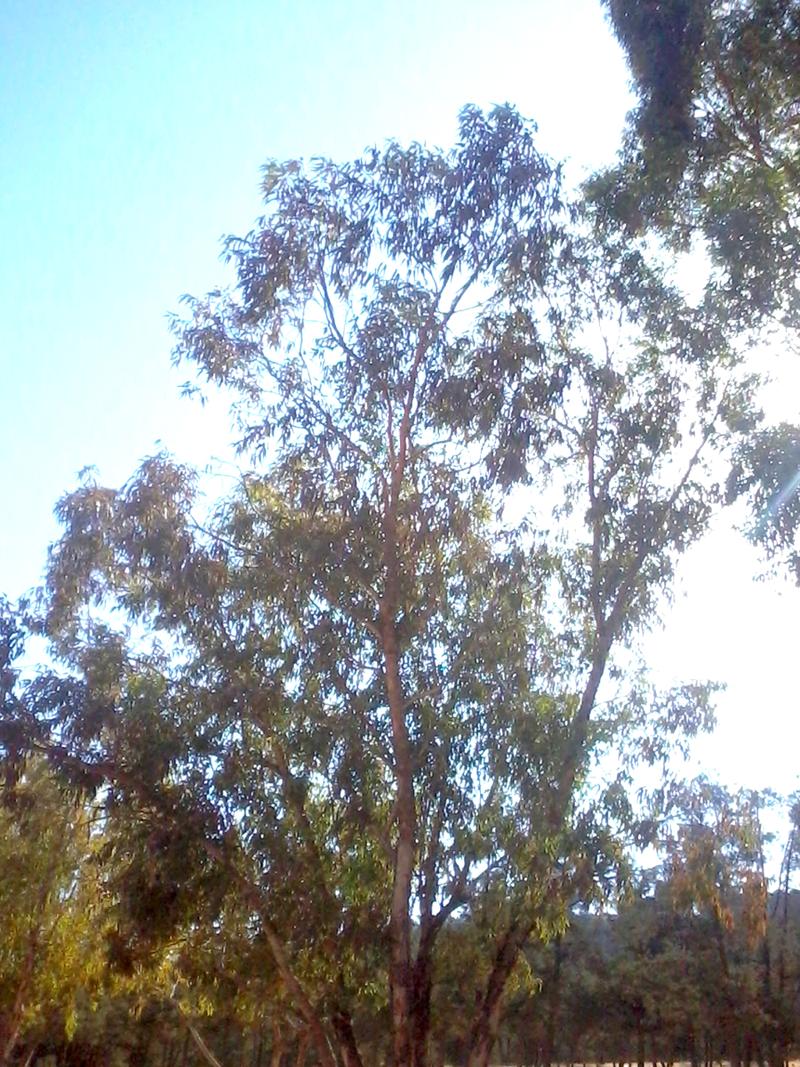 FileBois dEucalyptuspng  Wikimedia Commons ~ Eucalyptus Bois