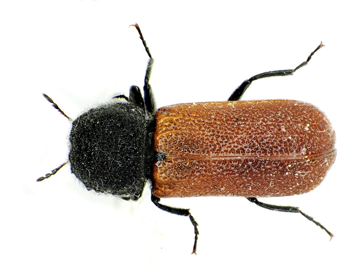 a short review of the capucinus magnauris