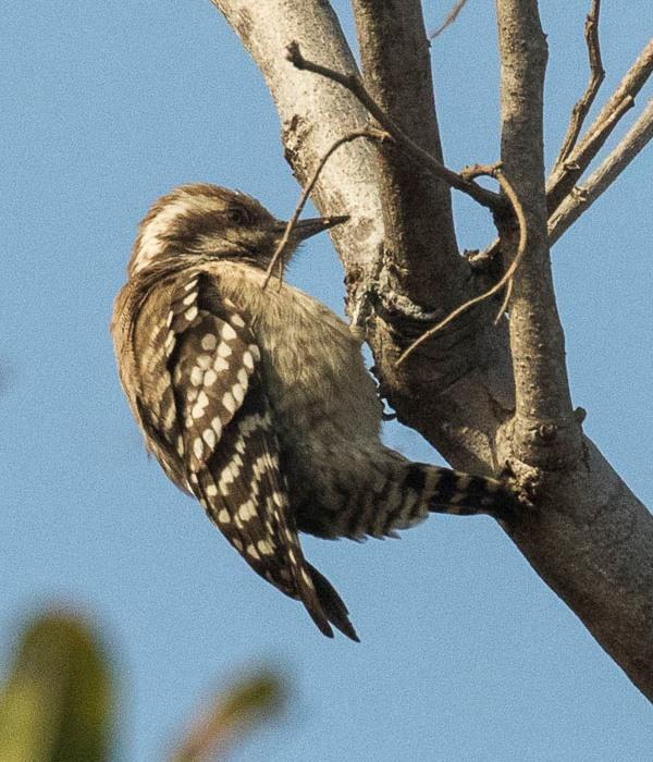6475e6833024b E'elyaaígíí:Brown-backed Woodpecker - Gambia (31838114303), crop.jpg ...